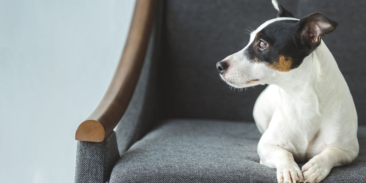 Dog Looking Worried While Sitting on Sofa
